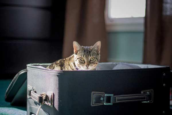 hacer la mudanza con un gato